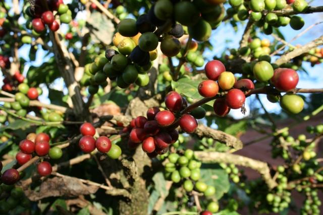 「ブルボン種」知っておきたいコーヒー豆の特徴